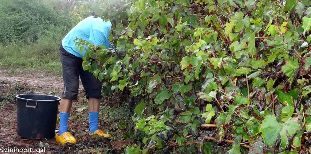 Druivenpluk op Hollandse klompen