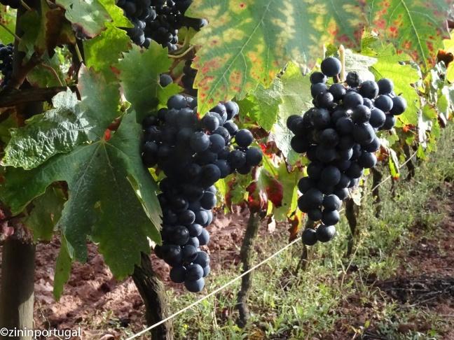 Rode druiven van het ras Tinta Roriz