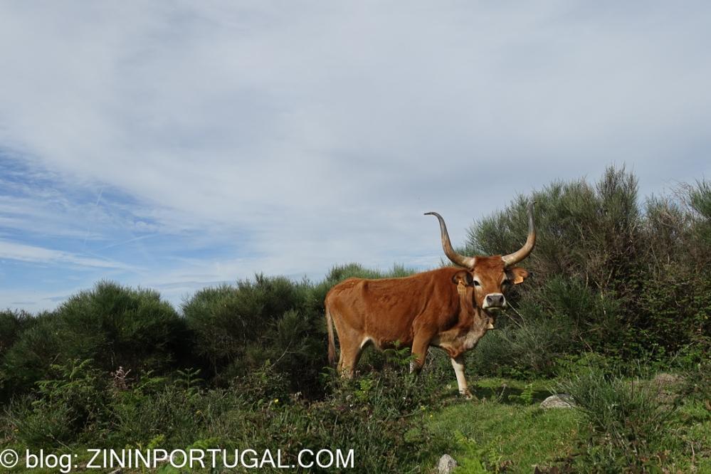 Een wilde koe van het Cachena-ras