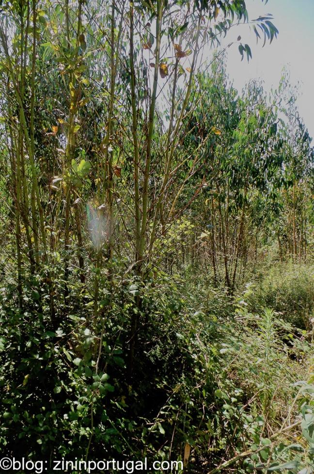 Eucalyptus_7_van_16_