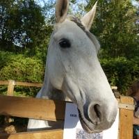 Lusitanos: Portugese paarden